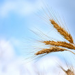Close up of ripe wheat ears — Stock Photo #3519026