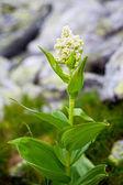 Light yellow alpine flower — Stock Photo