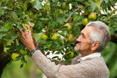 Old farmer and apple tree — Stock Photo