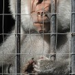 Mandrill monkey behind bars at the zoo — Stock Photo
