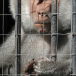 Mandrill monkey behind bars at the zoo - Stock Photo