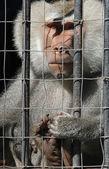 Mandrill monkey behind bars at the zoo — Stock Photo
