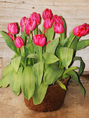 Pink tulips in bloom — Stock Photo