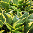 Royalty-Free Stock Photo: Hosta plant