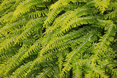 Fern leaves — Stock Photo