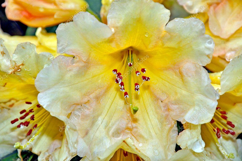 Rododendro giallo e bianco foto stock montana 3216424 - Rododendro prezzo ...
