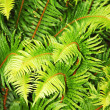 Royalty-Free Stock Photo: Lush green ferns
