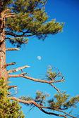 Moon and tree — Stock Photo
