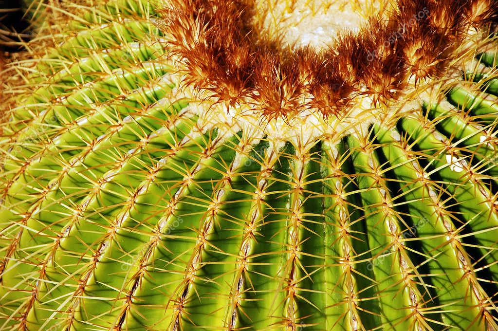 Close up of golden barrel cactus — Stock Photo #3424234