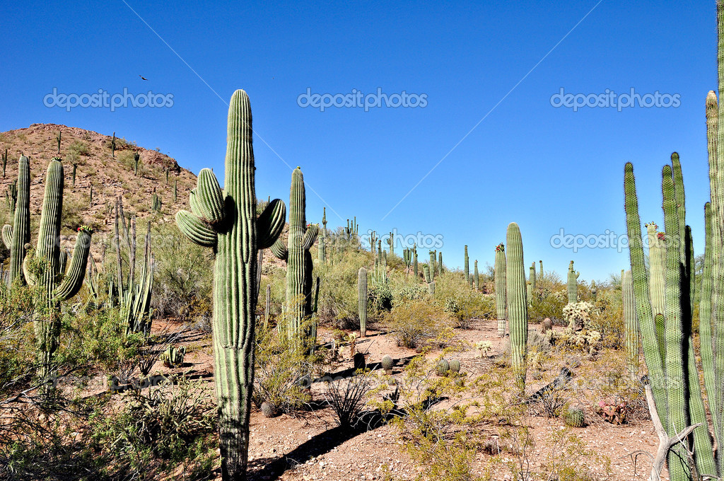 Desert Plants Arizona http://depositphotos.com/3458336/stock-photo-Arizona-desert.html