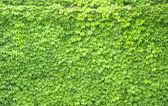 Boston ivy — Stock Photo