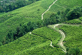 Paths in Tea Garden — Stock Photo