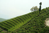 Tea Garden on Mountain Slope — Stock Photo