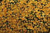 Bed of Yellow Roses — Stock Photo