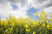Mustard crop — Stock Photo