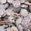 Sea scallop - Stock Photo