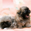 Stock Photo: Two pekingese