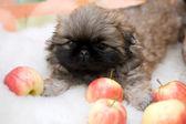 Pekingese puppy — Stock Photo