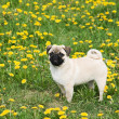 Puppy of the pug — Stock Photo