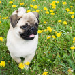 Stock Photo: Puppy of pug