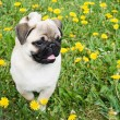 Puppy of the pug — Stockfoto