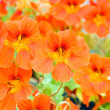 Red nasturtium — Stock Photo