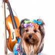 Yorkshire terrier — Stock Photo #3080366