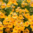 Nemesia (Nemesia strumosa) - Stock Photo