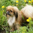 Pekingese - Stock Photo