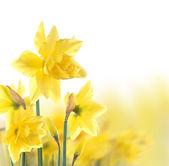 Narcisos — Foto de Stock