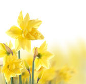 Narcisos — Foto Stock