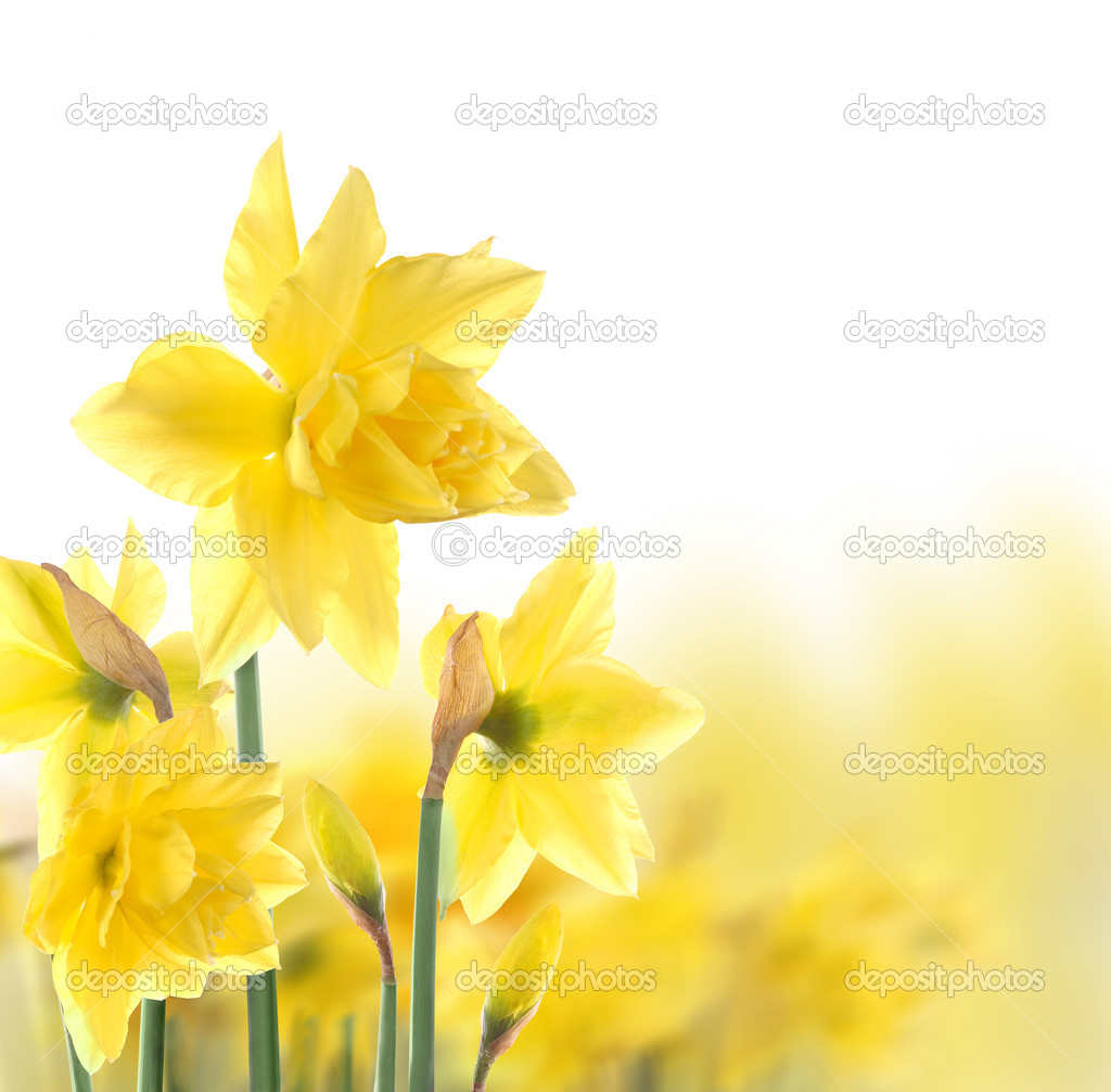 Yelow flowers on white background — Stock Photo #3023276