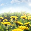 Dandelions on field — Stock Photo #3452633