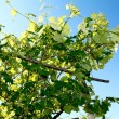 Stock Photo: Sun lighting through the leaves of vine