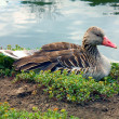 Stock Photo: Duck ashore lake