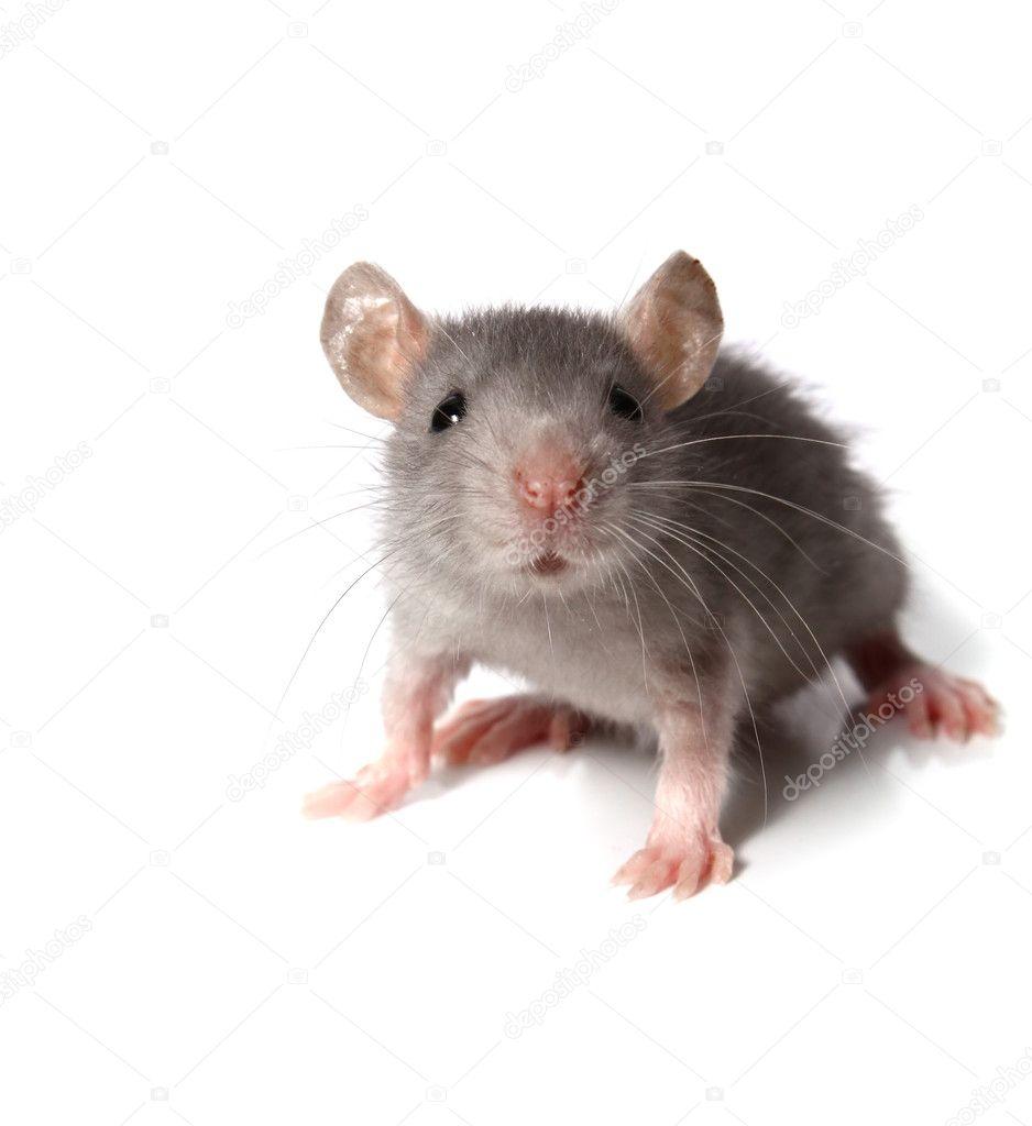 Мышь фото