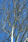 Sycamore tree — Stock Photo