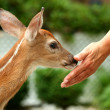 Young fawn and human hand — Stock Photo