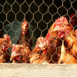 Bunch of chickens in a coop - Stock Photo