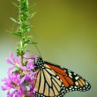 Feeding monarch butterfly — Stock Photo #3765037