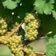 Green chardonnay grapes - Stock Photo