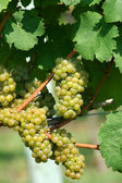 Green chardonnay grapes — Stock fotografie