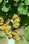 Grüne chardonnay-trauben — Stockfoto
