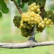 Stock Photo: Green chardonnay grapes