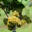 Green chardonnay grapes — Stockfoto #3804201
