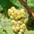 Foto Stock: Green chardonnay grapes