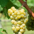 Green chardonnay grapes — Stockfoto #3833239