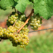 Green chardonnay grapes — Stockfoto #3842522