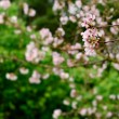 sakura flowers — Stock Photo #2988154