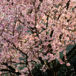 Sakura tree — Stock Photo #2988161